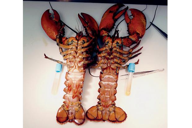 Two diseased lobsters (photo).