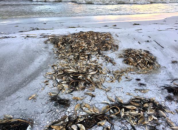 Florida, fish, die off, red tide, harmful algal bloom