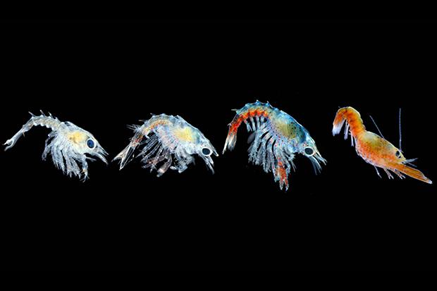Developing lobster larvae (photo)