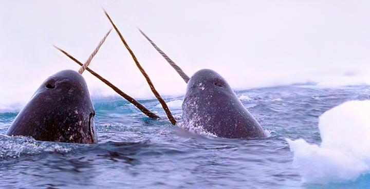 Photo of narwhals breaching the surface