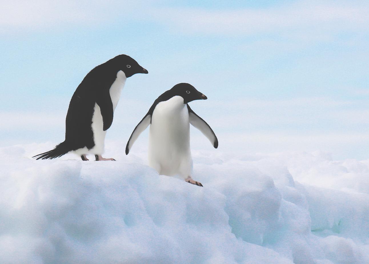 photos of Adélie penguins on ice