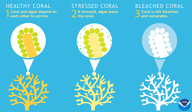 simplified drawing of coral polyp transitioning from healthy to bleached