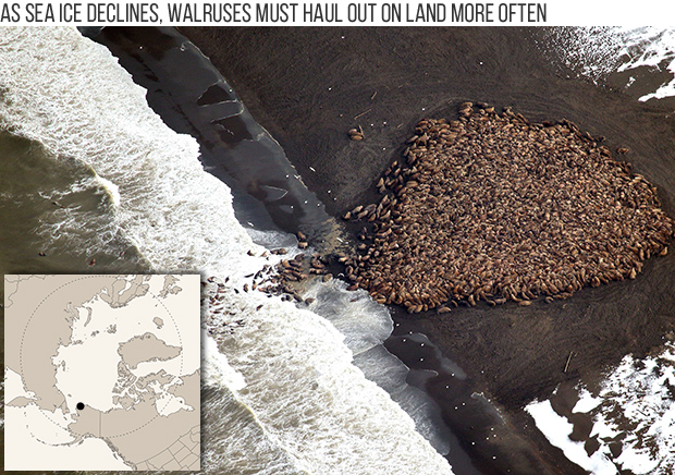 Photo shows thousands of walruses hauled out on Alaska's northern coast