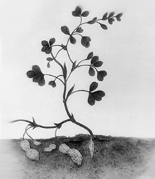 charcoal drawing of peanut plant