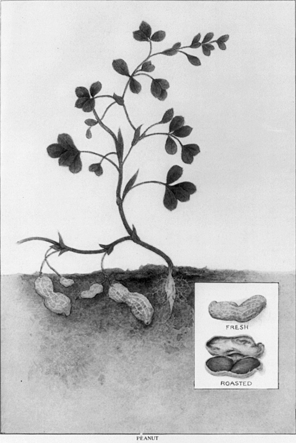 Climate peanut butter noaa climate charcoal drawing of peanut plant ccuart Image collections
