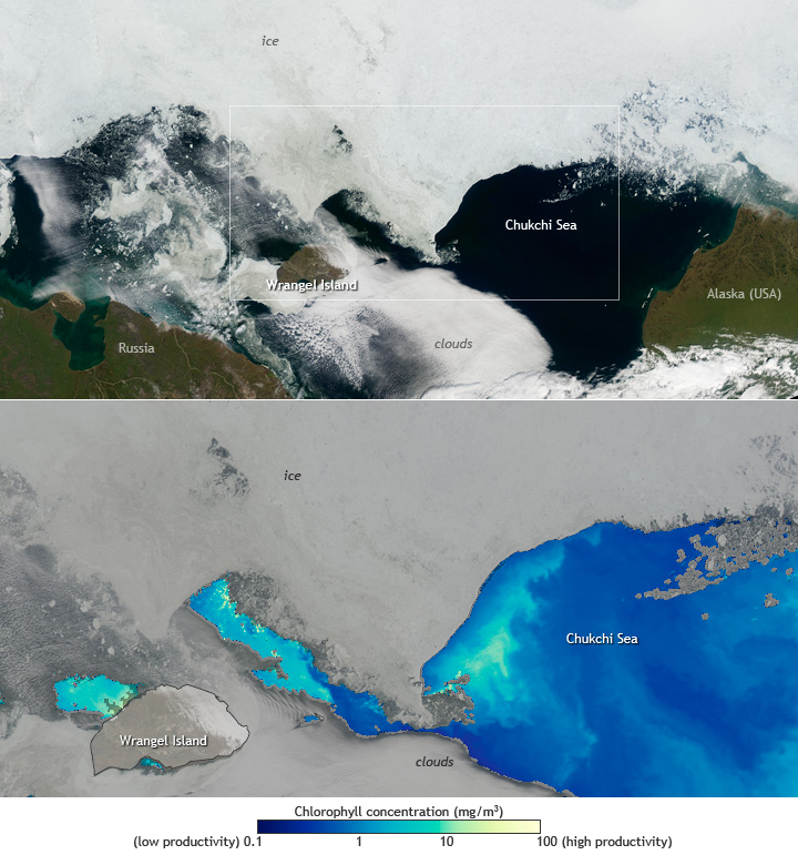 Pair of satellite images showing a bloom in the Chukchi Sea
