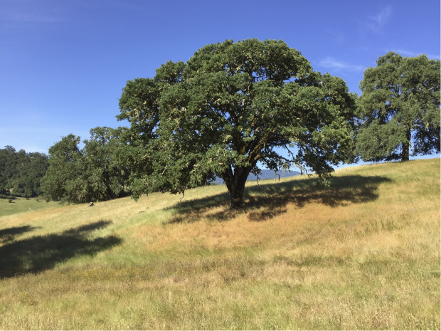 a large California oak tree surrounded by golden-green grass with more trees in the background