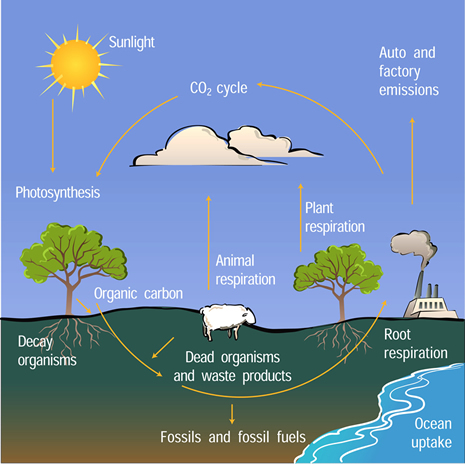 Graphic depicting carbon cycle