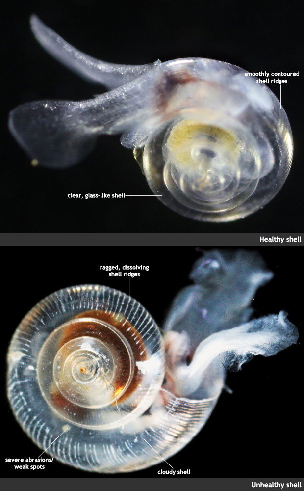 photo comparison of healthy and dissolving pteropods