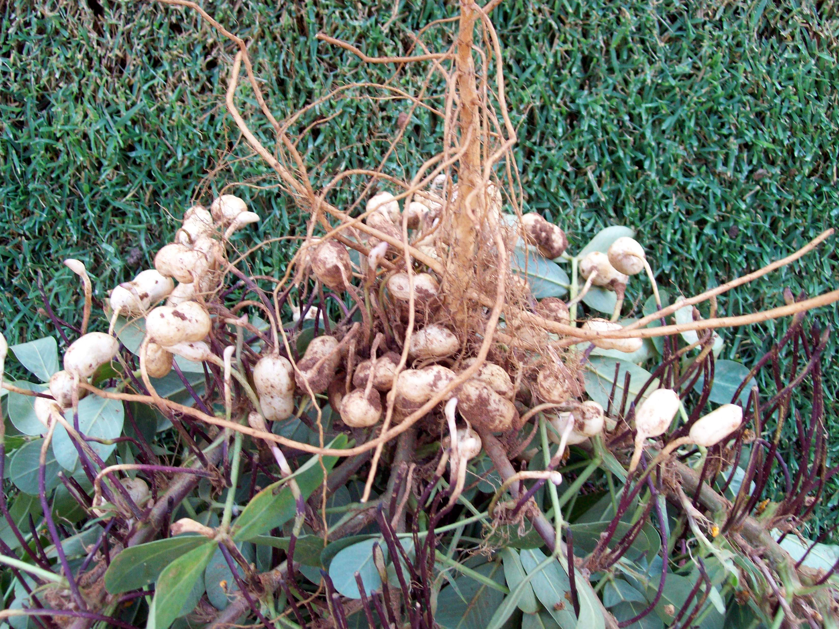 How to grow peanuts in the country or at home