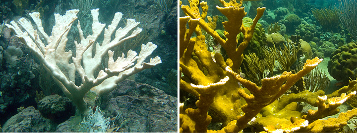 Bleached and normal coral