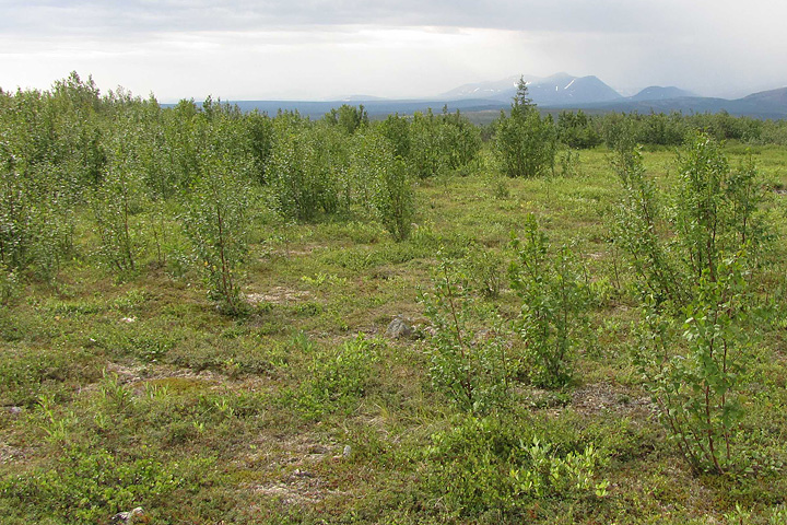 Tundra landscape with young alders