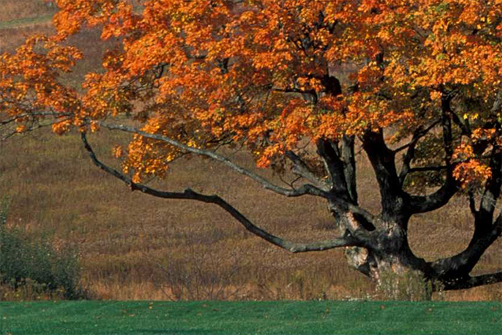 Photo of sugar maple tree