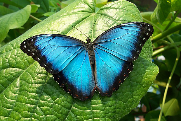 Morpho butterfly CC by Izzy LeCours