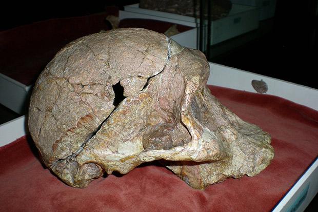 Mrs Ples fossil skull