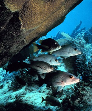 fish swimming around a large, overhanging coral