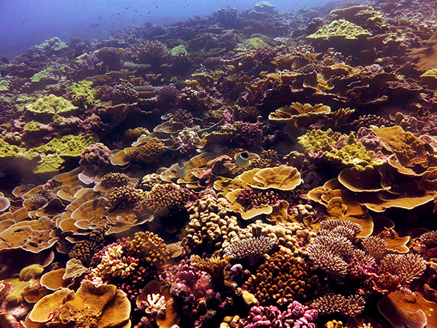 Healthy coral reef, densely crowded with many types and colors of coral